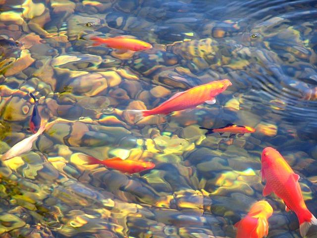 בריכת דגים
